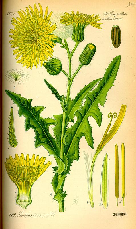 Mlecz polny - Sonchus arvensis