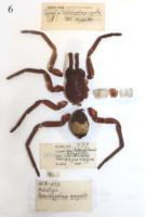 Brachypelma angustum, Sericopelma angustum