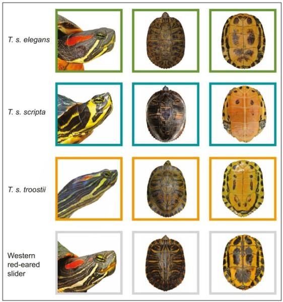 Podgatunki Trrachemys scripta (żółw ozdobny) - Identyfikacja