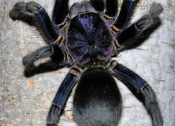 Phormictopus sp. Dominican purple