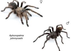 Rewizja rodzaju Aphonopelma