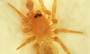 Nowy gatunek pająka w Polsce