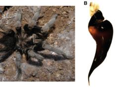 Grammostola quirogai (sp. nov.)